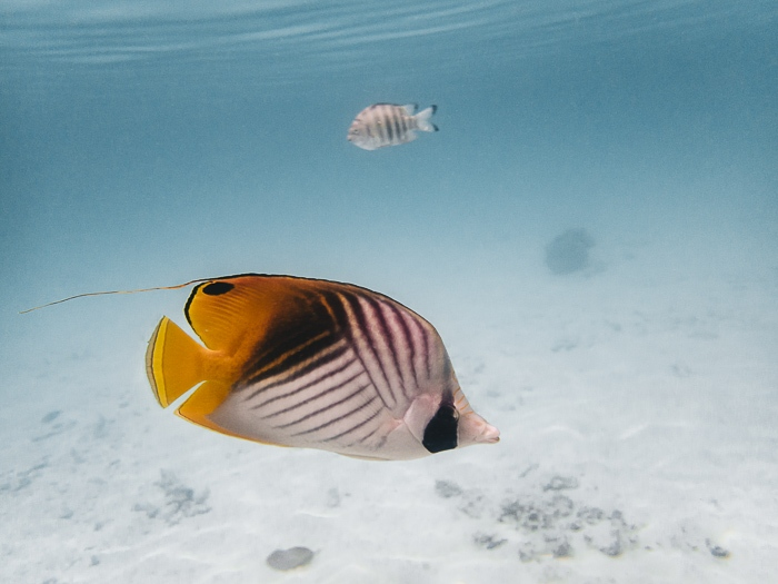 Four Seasons Bora Bora lagoon sanctuary butterflyfish by Dancing the Earth