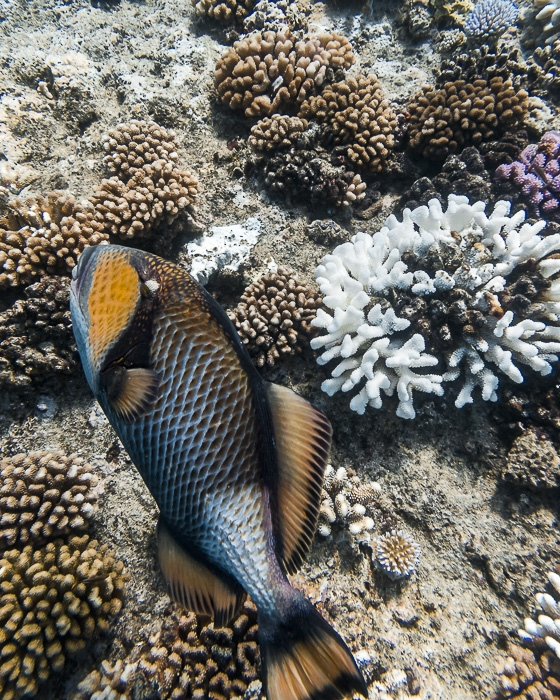 Titan triggerfish in Fitii's wall in Huahine with Mahana dive by Dancing the earth