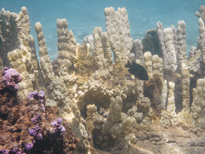 Corals of Huahine secret coral garden by Dancing the earth