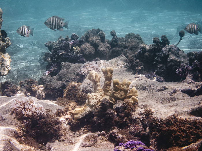 French Polynesia travel guide Huahine secret coral garden scissortail sergeant fishes by Dancing the Earth