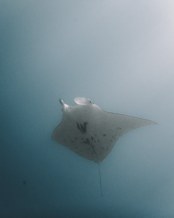French Polynesia travel guide Maupiti manta ray with Maupiti diving by Dancing the Earth