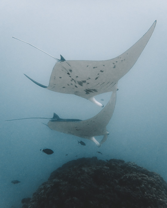 French Polynesia travel guide manta rays with Maupiti diving by Dancing the Earth