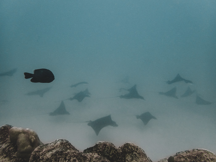 French Polynesia travel guide Maupiti diving stingrays by Dancing the Earth