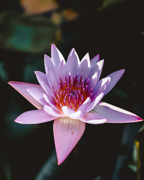 Lotus flower in Marae Taputapuatea in Raiatea by Dancing the Earth