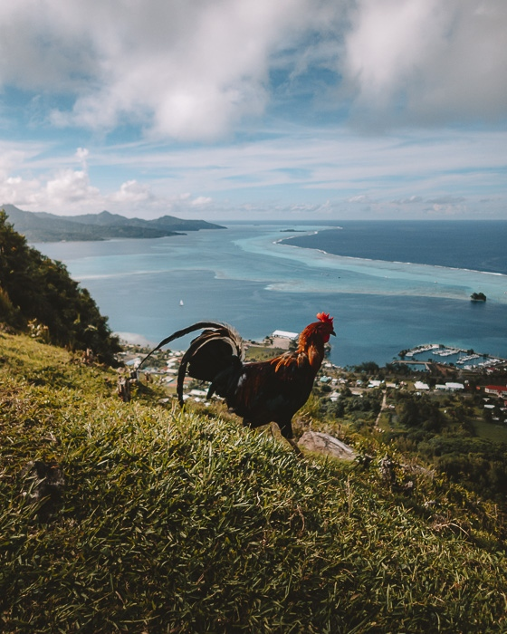 A rooster in Mount Tapioi in Raiatea by Dancing the Earth