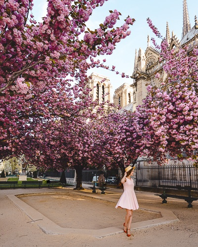 Spring in Paris Kanzan cherry blossoms and Notre-Dame by Dancing the Earth
